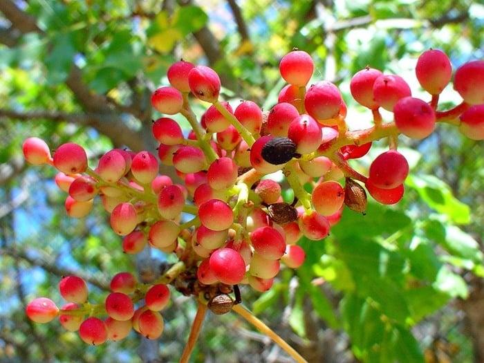 Фисташки дерево