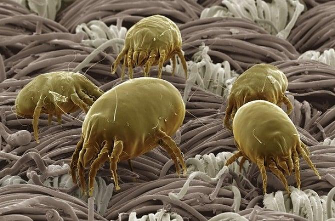 Домашний пыльевой клещ