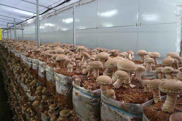 Выращивание вешенки грибов как бизнес 91