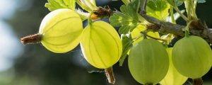 зеленый крыжовник кормящей маме
