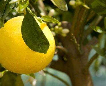 желтый помело