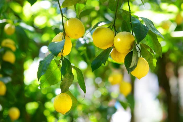 Как выбрать и хранить лимон