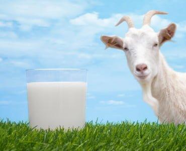 Козье молоко при грудном вскармливании